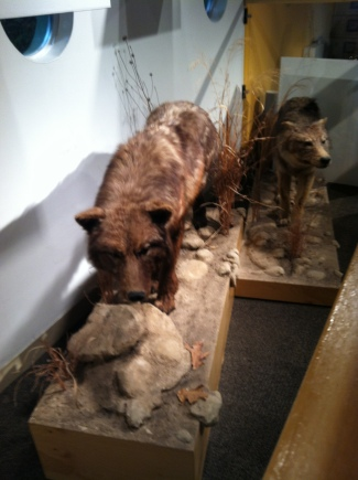 Wolves at Peggy Notebeart Museum